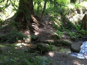 redwood tree by a stream