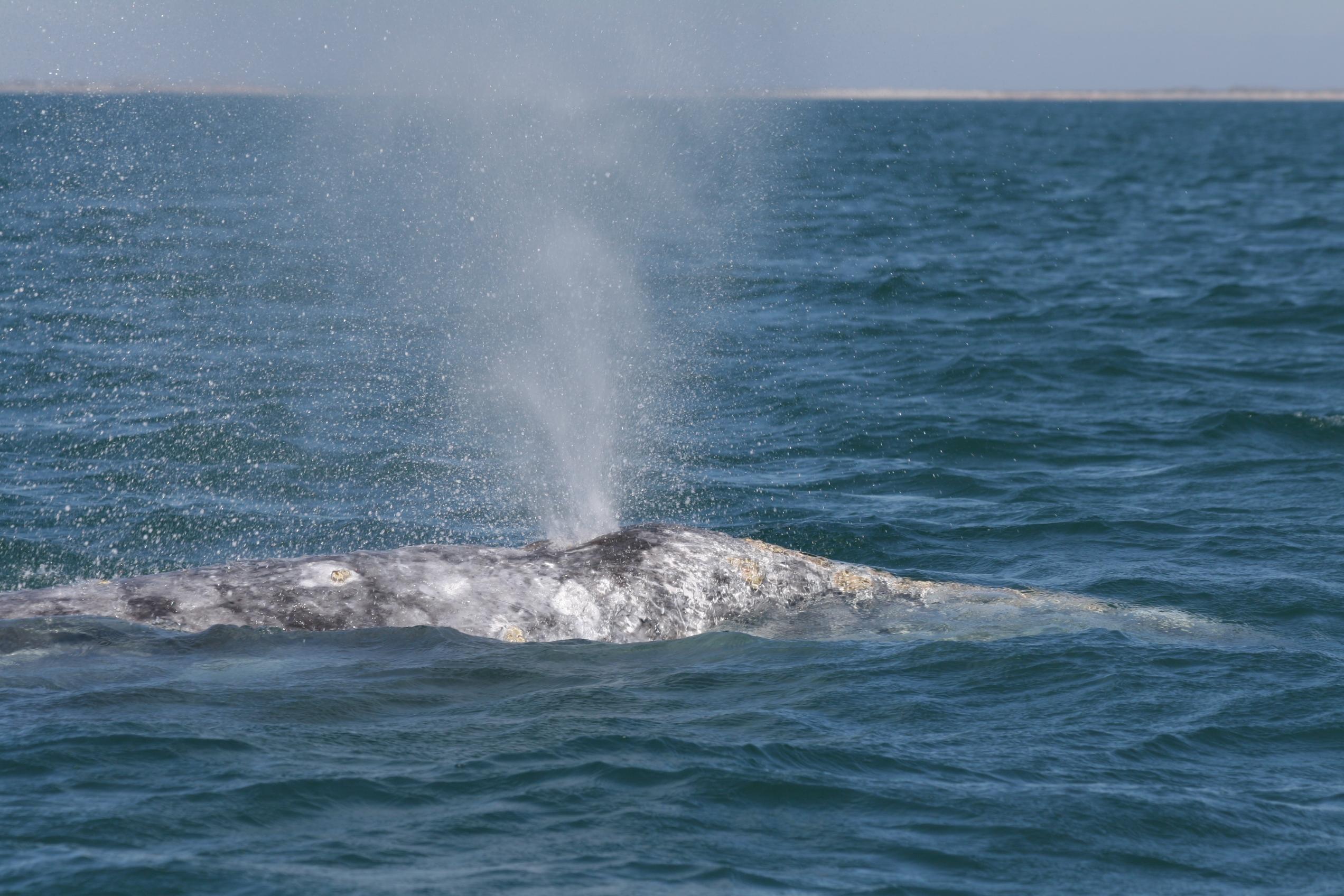 gray whale spouting