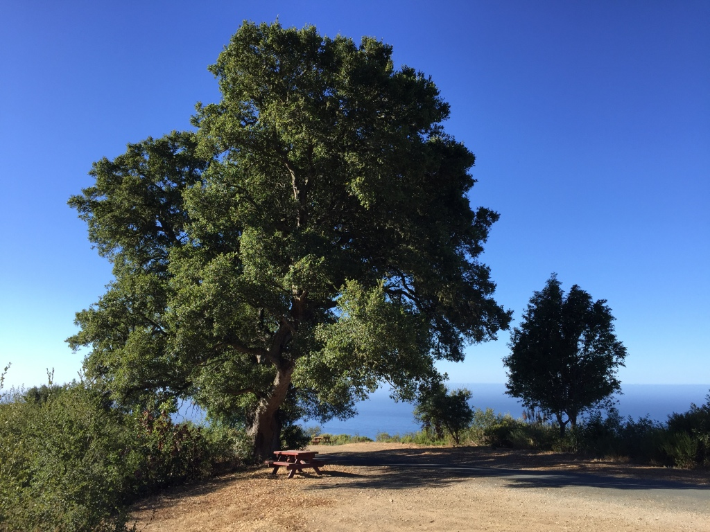 Oak tree at New Camaldoli