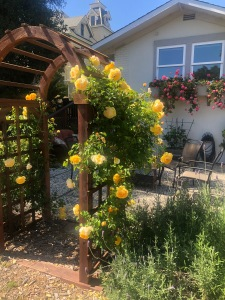 yellow roses climbing up arch